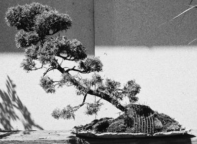 Thams Gartenbau Bonsai